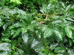 coffee-plantation-forsale